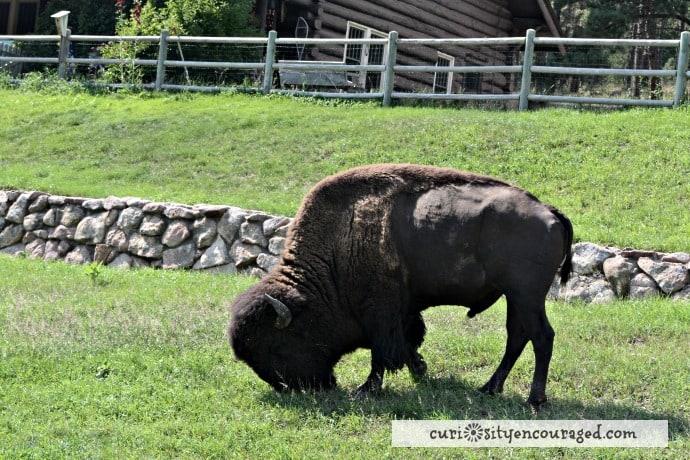 Travel with Kids to South Dakota, Wild Buffalo, Family Travel, South Dakota